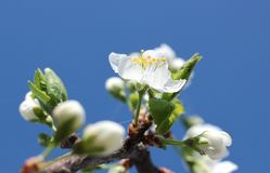 Blooming spring orchard in may. Blooming tree in spring garden on sky background Royalty Free Stock Photos