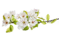 Blooming tree in spring isolated on white Stock Image