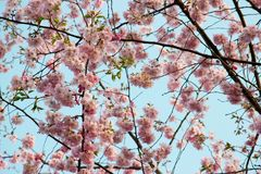 Blooming tree in spring with pink flowers Royalty Free Stock Image