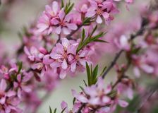 Blooming tree in spring with pink flowers. Cherry plum tree. Macro stock photos