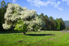 Blooming tree Stock Images