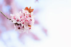 Blooming Tree In Spring Royalty Free Stock Image