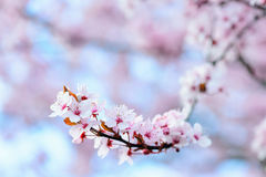 Blooming Tree In Spring Stock Image