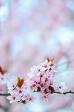 Blooming Tree In Spring. With Shallow Depth Of Field Stock Photo