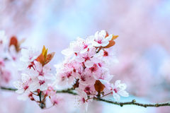 Blooming Tree In Spring Royalty Free Stock Images