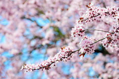 Blooming Tree In Spring Royalty Free Stock Photography