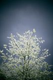 Blooming tree in storm Royalty Free Stock Image