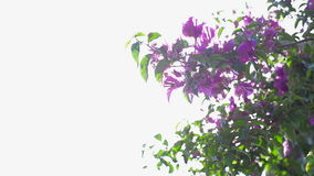 Blooming tree and sunbeams. Hot summer sun is shinning through leaves and purple flowers of blooming tree stock video