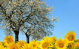 Blooming tree and sunflower field. Stock Photography
