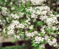 Blooming tree at sunny day Stock Photos