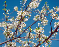Blooming tree at sunny day Stock Photography