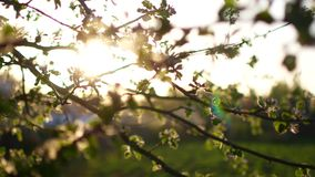 Blooming tree on sunset. White flowers on a tree in the spring park. Spring garden. Blooming tree on sunset. White flowers on a tree in the spring park. Spring stock video footage