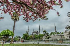 Blooming tree and view of The Sultan Ahmed Mosque royalty free stock image
