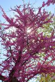 Blooming tree. With vivid purple color flowers Stock Photos