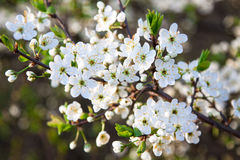 Blooming tree with white beautiful flowers Stock Photography