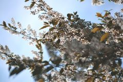 Blooming tree with white flowers royalty free stock photo