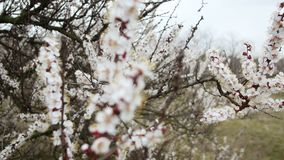 Blooming tree. White flowers on a tree in the spring park. Spring garden.  stock video footage