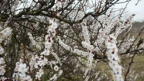 Blooming tree. White flowers on a tree in the spring park. Spring garden.  stock video