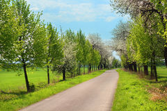Blooming trees. Path through spring landscape lined with blooming trees Stock Photos