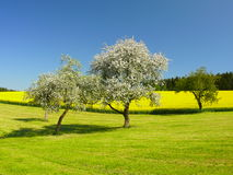 Blooming trees. In a meadow in spring Stock Photo