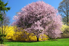 Blooming Trees Stock Images