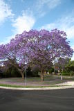 Blooming trees. Spring. Blooming trees in one of Sydney subburb Stock Photos