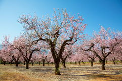 Blooming trees Royalty Free Stock Image