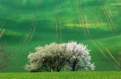 Blooming trees against green fields in spring in South Moravia Stock Photo