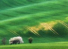 Blooming trees against green fields in spring in South Moravia Royalty Free Stock Image