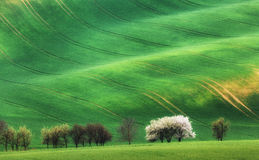 Blooming trees against green fields in spring in South Moravia Royalty Free Stock Photo