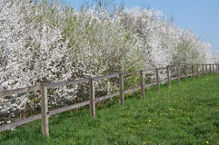 Blooming trees along paddock Royalty Free Stock Images
