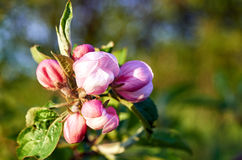 Blooming trees. Blooming apple trees and flowering cherry beautiful sunny spring morning Stock Image