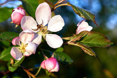 Blooming trees. Blooming apple trees and flowering cherry beautiful sunny spring morning Stock Photo