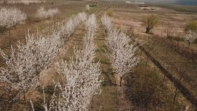 Flowering trees from a height. Blooming trees from a bird`s eye view stock video footage