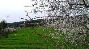 Blooming trees. Spring seasonal forest Royalty Free Stock Photography