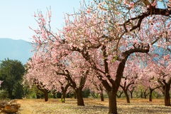 Blooming trees on field Royalty Free Stock Photography