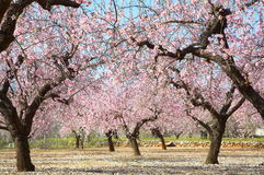 Blooming trees on field Royalty Free Stock Images