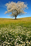 Blooming trees Royalty Free Stock Images