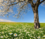 Blooming trees Royalty Free Stock Photos