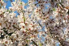 Blooming trees on field in spring. Detail Stock Photo