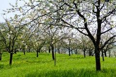 Blooming trees in garden in spring. Blooming trees in garden outdoor in spring countryside Stock Image