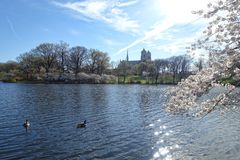 Blooming trees and geese in the park in Newark New Jersey Stock Photography