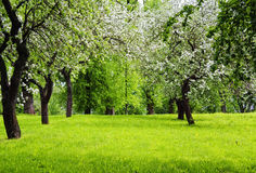 Blooming trees on green meadow. In springtime Royalty Free Stock Photos