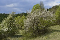 Blooming trees near country road. Stock Photo