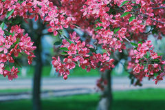 Blooming trees with pink flowers Royalty Free Stock Image