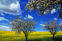 Blooming trees and rape Royalty Free Stock Image