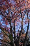 Blooming trees with read leaves in the Christchurch Botanical Gardens in New Zealand stock image