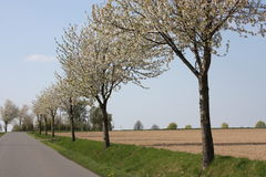 Blooming trees. At a road Stock Photography