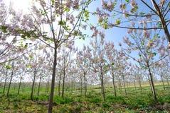 Blooming trees at spring. Pink blooming trees at spring Royalty Free Stock Photos