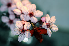 Blooming trees in spring. Blooming trees in early spring Royalty Free Stock Image